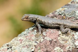 Lizard on Mt. Sanitas