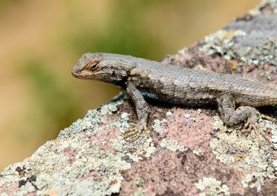 Lizard on Mt. Sanitas